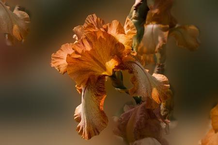 Orange iris flower on a blurred background macro