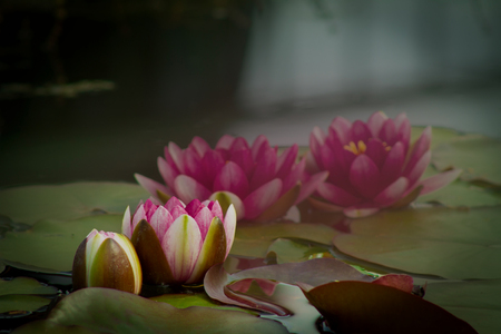 Red Nymphaea , Hardy Waterlily, in the pond