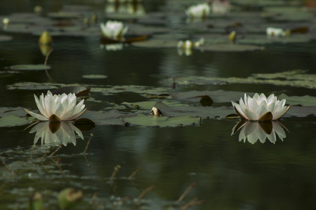White Nymphaea , Hardy Waterlily in the pond