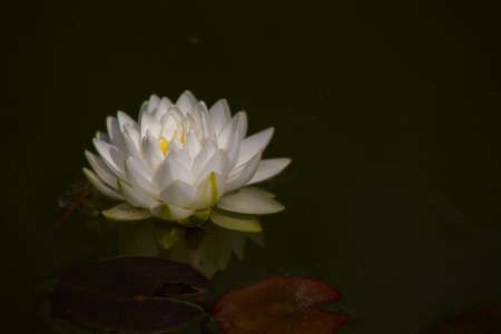 A beautiful white waterlily or lotus flower in pond Stock Photo