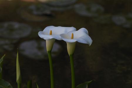 arum: Calla , elegant and peaceful full blooming Calla Lily Stock Photo