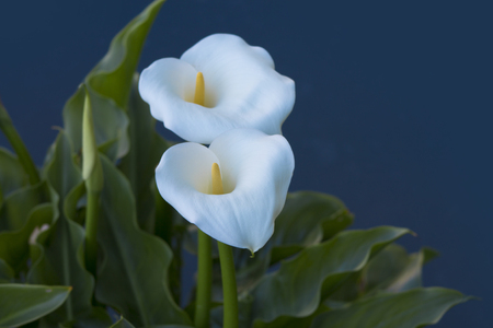 Calla , elegant and peaceful full blooming Calla Lily Stock Photo
