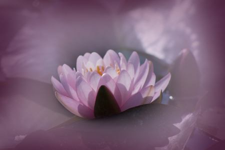 Lotus bloem, close-up, op een wazige achtergrond