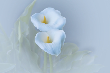 two calla lilies on white background