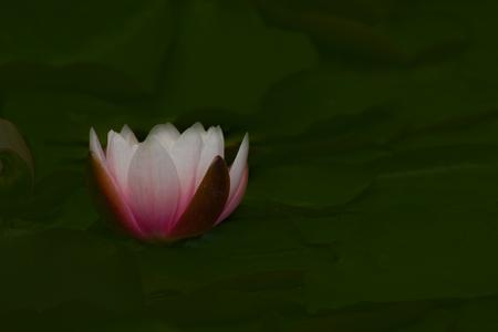 Mooie lotusbloem in een vijver, Lotus bloem, op een wazige groene achtergrond