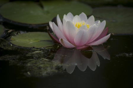 Beautiful lotus flower in a pond, reflected in water