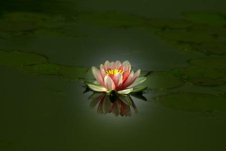 Mooie lotusbloem in een vijver, weerspiegeld in water
