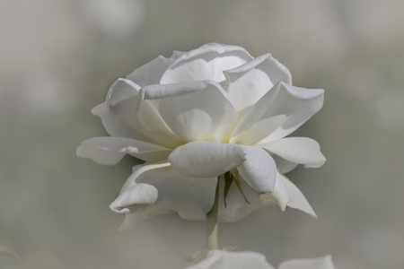 White rose on a blurred background