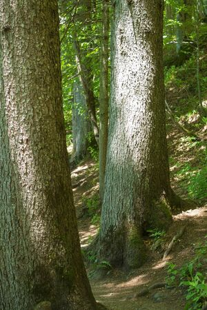two centennial trees, in a mountain forest, the Italian Alps