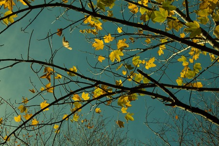 branches with yellow autumn leaves ,against the blue sky