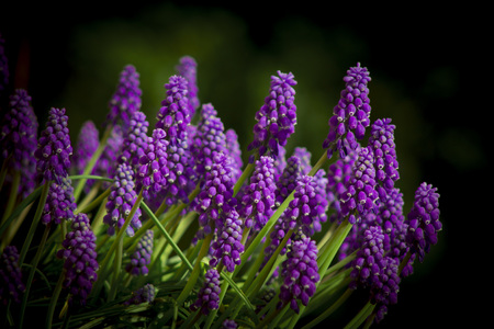 muscari - the blue first spring flowers Stock Photo