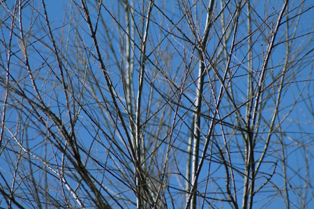 tree branches without leaves against the blue sky ,winter Stock Photo