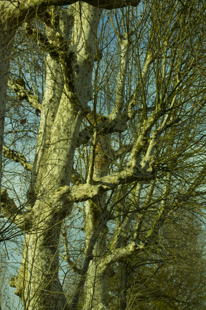 Trunk and branches of a old sycamore tree silhouetted against a blue sky Stock Photo