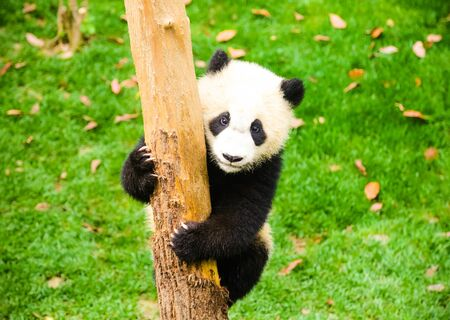 Panda holding the tree