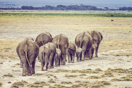 Wild elephants walking through the African savannah in a national park