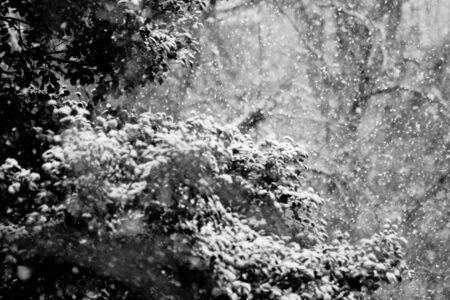 Fresh Snow on Trees