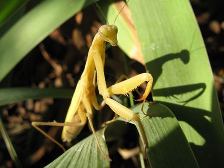 religiosa: The Mantis religiosa one of the the most most interesting insect. Seems even insects believe in the god.