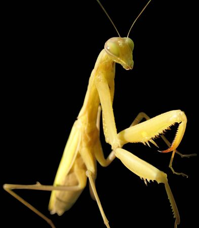 leafage: The Mantis religiosa one of the the most most interesting insect. Seems even insects believe in the god.