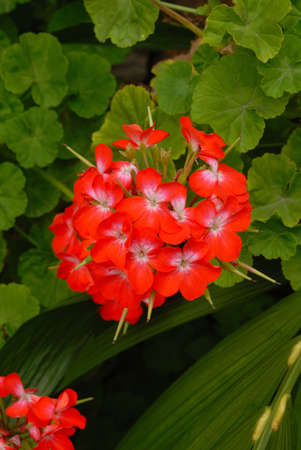 Five petal red flower with tropical foliage background Stock Photo