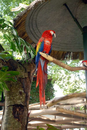 Scarlet Macaw perched on limb Banco de Imagens