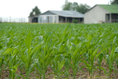 Planning for the future fuel needs with the new growth of corn in the fields. Stock Photo - 8524551
