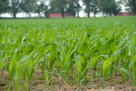 Planning for the future fuel needs with the new growth of corn in the fields. Stock Photo - 8524555
