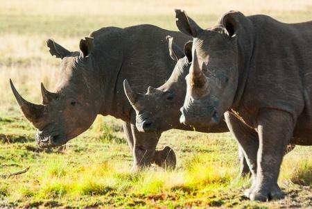 rhino Stockfoto