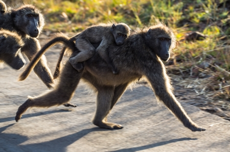 terrestrial mammal: baboon