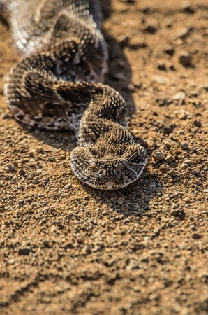 cold blooded: puff adder