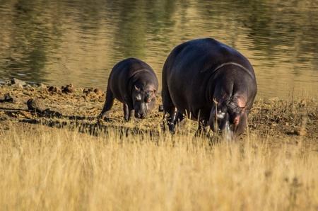 nijlpaard moeder en kalf