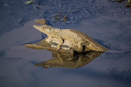 cold blooded: juvenile crocodile