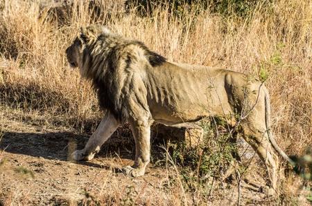terrestrial mammal: lion Stock Photo