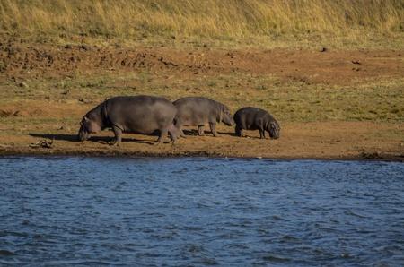 nijlpaarden Stockfoto