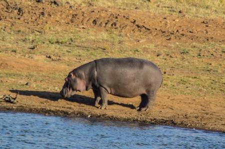 Hippo Stockfoto
