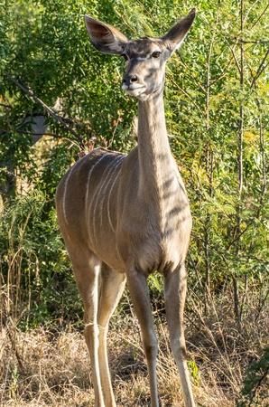 kudu vrouwelijke