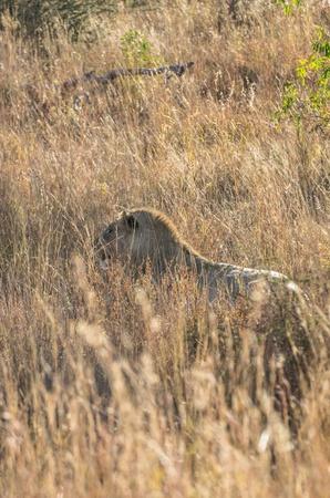 leeuw Stockfoto