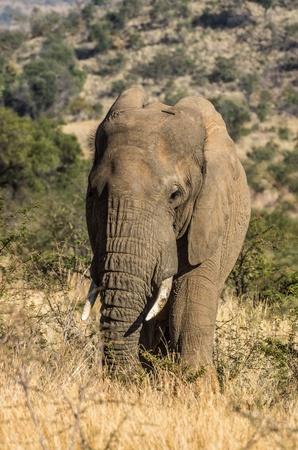 olifant  Stockfoto
