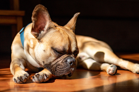 Sad Fawn French Bulldog lying in the sun on a lazy Sunday