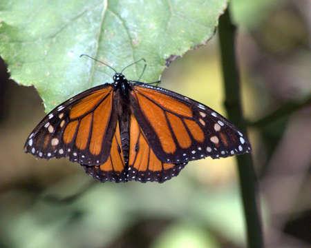 plexippus: Monarch butterfly at rest in the mountains of central Mexico (danaus plexippus)