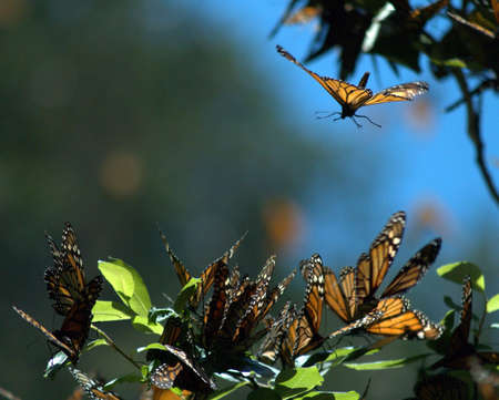 migrating animal: A Monarch butterfly prepares to land in a cluster of butterflies in the mountains of central Mexico (danaus plexippus)