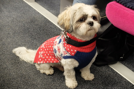 A Shih Tzu Dog in a Christmas Sweater on A Train in France