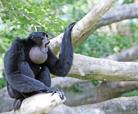 duet: Monkey (Siamang) performing his typical duet
