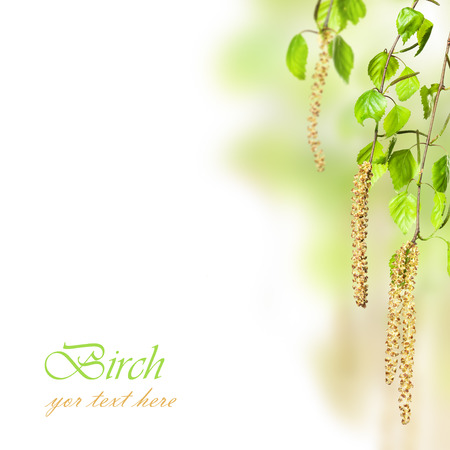 brich: beautiful spring sprigs of brich with text space on white background