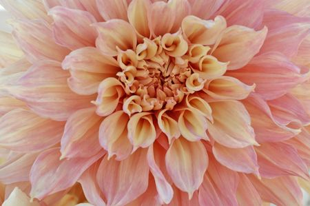 photographies: Close-Up Of Giant Dahlia Stock Photo