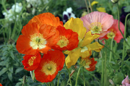 Iceland Poppies Close-up