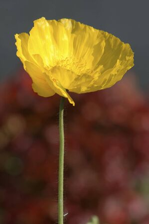 Icelandic Poppies With Buds, Close-up