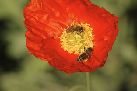 Icelandic Poppy And Bees Stock Photo - 2648977