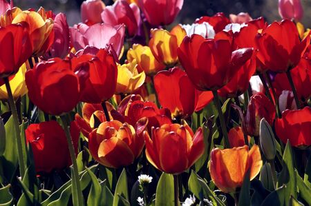 Close-up Of Tulips In Garden  (Enhanced)