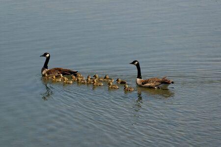 Of Ducks Swimming photo
