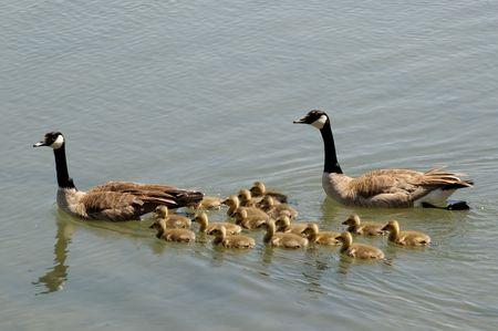 Of Ducks Swimming